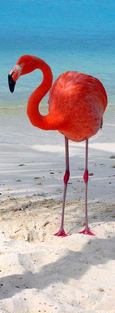 Flamingos - ARUBA/CURACAO
