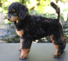 Shih Poo, Yorkie, Teddy Bear Poodle, Phantom Poodle, Cute Puppies, Cute Dogs, Poodle Hair, Puppy Cut, Poodle Grooming