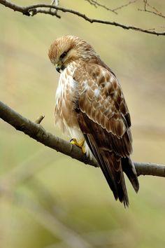 Japanese Bird, Bird Wings, Creature Concept Art, Birds Of Prey, Eagle, Character Design, Creatures, Nature, Beauty
