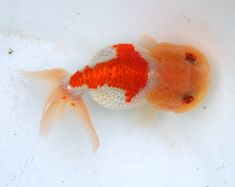 Tiger Head Ranchu with red eyes