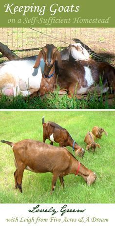 Keeping Goats on a Self-Sufficient Homestead. I miss my goats!!!