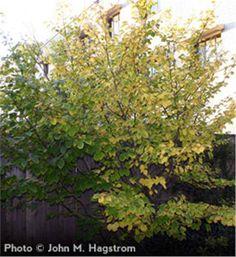 Get one for Kathy G! Witchhazel shrub - Hammamelis virginiana