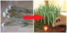 Nečakajte kým zvädnú: Takto jednoducho premeníte rezané klinčeky z kvetinárstva na úžasnú ozdobu vášho bytu, alebo skalky! Herbs, Flowers, Plants, Gardening, Lawn And Garden, Herb, Plant, Royal Icing Flowers, Flower