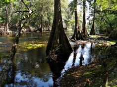 O'Leno State Park: Cypress Line-up. Alachua County, FL (via Flickr)