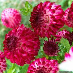 Dahlia Caproz Pizzazz Semi-Dinnerplate - Gorgeous fluted petals in tones of deep fuchsia with purple-pinkish tips with a white undertone. 4 to 6 inch blooms.