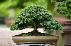 Bonsai Art, Bonsai Trees, Herbs, Landscape, Mini, Beautiful, Drawings, Casual, Plants