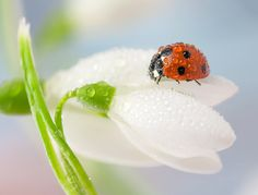 Glistening with rain or dew, these ladybugs look absolutely enchanting in these macro photos by Ireland-based photographer Tomasz Skoczen. For years now, Terre Nature, Garden Bed Layout, Bizarre News, She's A Lady, Fotografia Macro, Beautiful Bugs, Jolie Photo, Weird Pictures, Weird Facts