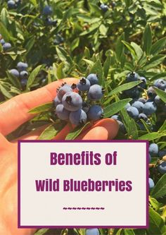 wild blueberries and their nutritional benefits are available all year long! Learn why they're so good for you and get a peek into how they're grown and harvested. @jlevinsonRD Sponsored trip @wildbberries