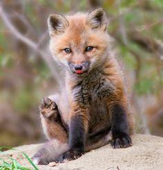 magicalnaturetour: Red Fox Kit by Jim Block :)