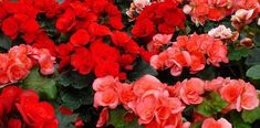 Begonia, Tropical, Rose, Flowers, Plants, Garden Centre, Single Flowers, Shade Plants, Indoor Plants