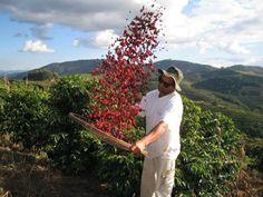 Ponto Allegre - fresh coffee beans