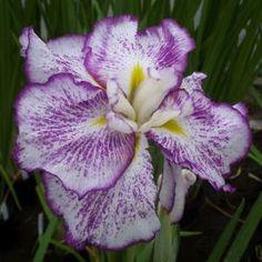 Iris ensata 'Stippled Ripples'Common Name: Iris-JapaneseShips As: 1 Perennial Bareroot Japanese Iris, Bog Plants, Bog Garden, Purple Accents, Common Names, Bearded Iris, Plant Sale, Stippling, Perennials