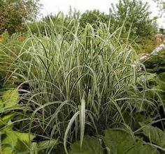 miscanthus sinensis variegatus - Yahoo Image Search results