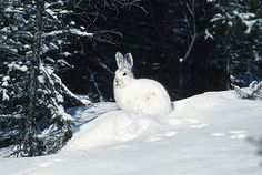 The snowshoe hare is found throughout Canada and the northern United States south to northern California, northern New Mexico, northern Minnesota, northern Michigan, and northern New Jersey.