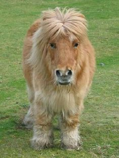 Shetland Pony's - get my every time! Pretty Horses, Horse Love, Beautiful Horses, Animals Beautiful, Animals And Pets, Baby Animals, Cute Animals, Horse Pictures, Animal Pictures