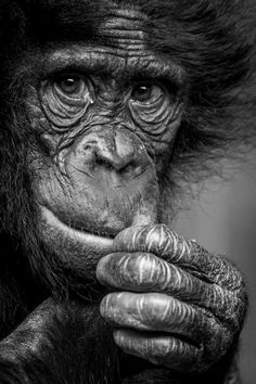 Zoo holds stunning photographic competition - here are the winners Animals Black And White, Black White Art, Black And White Drawing, Wild Animals Photography, Wild Photography, Animal Sketches, Animal Drawings, Drawing Animals, Primates