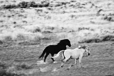 Wild Mustangs of Wyoming in  Black and White   by CestLaVieArt