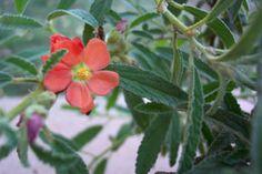 Kansas Wildflowers and Grasses - Narrowleaf globe mallow