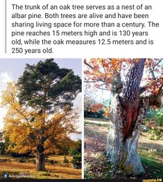 The trunk of an oak tree serves as a nest of an albar pine. Both trees are alive and have been sharing living space for more than a century. The pine reaches 15 meters high and is 130 years old, while the oak measures meters and is 250 years old. Wtf Fun Facts, True Facts, Funny Facts, Cool Pictures, Cool Photos, Oak Tree, Looks Cool, Mother Earth, Science Nature
