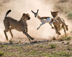 Young Cheetahs Trying Their Luck in Hunting. Outdoor Family Photography, Cheetahs, Professional Photography, Kangaroo, Giraffe, Hunting, Africa, Explore, Animals