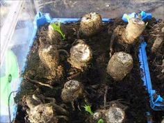 How To Grow Dahlias, Lifting And Keeping Tubers 2011-12