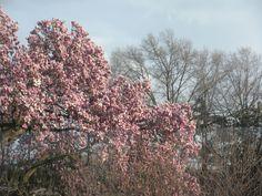 Cherry Blossoms DC