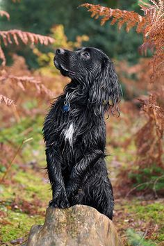 Damp Spaniel- My Grandaddy had a set of similarly majestic professional photos of his Springer, Che. Glad I received those dog-loving genes.