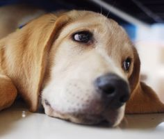 Researchers found Labradors Retrievers sometimes have a mutation of the POMC gene, which leads to more food-motivated behaviors like begging and scavenging for food.