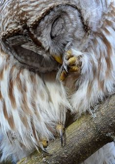 Barred Owl  (photo by canadian ry)