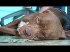 Stolen Pit Bull Reunited With Family 2 Years Later