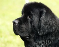 The sweetest, most beautiful dog on the planet...the Newfie