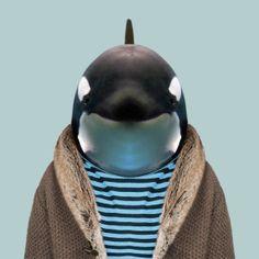 Killer Whale - Oscines Orca