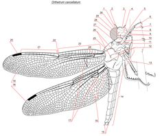 Anatomy of a dragonfly
