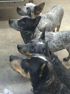 Blue Heelers patiently waiting for treat. Aussie Cattle Dog, Austrailian Cattle Dog, Cattle Dogs, Pet Dogs, Dogs And Puppies, Dog Cat, Herding Dogs, Dog Rules, Dog Pictures