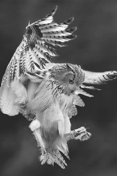 Owl coming in for a landing...