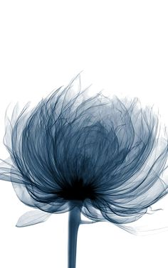 Xray of peony blossom put an otherworldly phoenix egg xray inside radiograph flower prints, 327 best x ray art images x ray art, xray flower. Xray Flower, Flower Art, Birth Flower, Art Flowers, Flower Frame, Art Floral, Animal Drawings, Art Drawings, Outdoor Fotografie