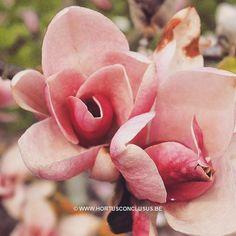 Magnolia 'Pinkcharm' #gardening #tuinieren #jardinage #gartenarbeit #magnolia #flowers #bloemen #fleurs #blumen #tree #boom #arbre #baum #hortusconclusus #treenursery #boomkwekerij #pépinière #baumschule #uitbergen #berlare #zele #wichelen #schellebelle #lokeren #schoonaarde #dendermonde #laarne #beervelde #kalken #wetteren