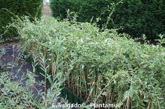 Plantas de Goji a la venta en plantamus. http://www.plantamus.es/comprar-frutales/comprar-planta-de-pequenos-frutos-