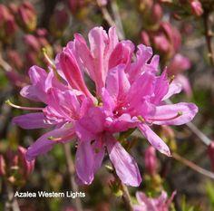 Azalea Western Lights