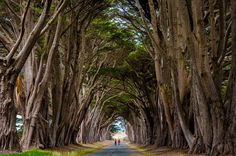 Monterey Cypress Trees Tunnel, Point Reyes National Seashore, California