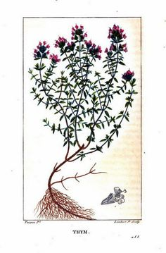 Painting of thyme leaves, roots, and blossoms from Flore médicale, by F.P. Chaumeton, Chamberet et Poiret, illustrated by E.M., illlustrated by E. Panckoucke and P.J.F. Turpin, published by C.L.F. Panckoucke (Paris), 1820 (on Google Books, original from Lyon Public Library)