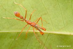 Ant Mimic Jumping Spider http://www.huffingtonpost.com/2013/08/07/spider-photos-nicky-bay_n_3719123.html?1375886360