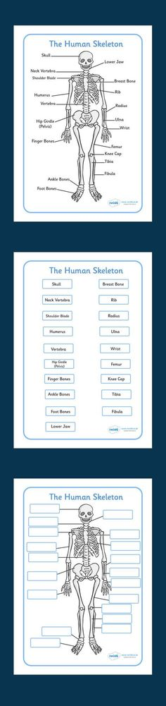 Human Skeleton Labelling Sheets - free download - Twinkl