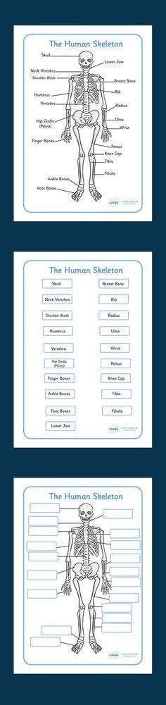 Human Skeleton Labelling Sheets - free download - Twinkl