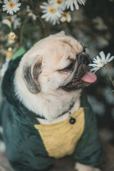 Receive wonderful tips on Pugs. They are on call for you on our site. Black Pug Puppies, French Bulldog Puppies, Cute Dogs And Puppies, Cute Funny Animals, Cute Baby Animals, Animals And Pets, Pug Love, Bulldogs, Stuffed Animals