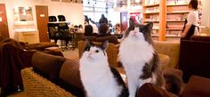 Cat Cafe, sit & read with a cat on your lap, or have a cup of tea and just hang out with the Cats--Ikebukuro, Tokyo...oddest thing ever