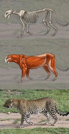 Aaron Blaise leopard anatomy