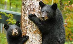Appalachian Bear Rescue – A black bear care facility