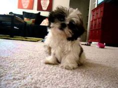 Shih tzu puppies are the cutest!