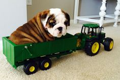 Let's Ride! Funny Dog Pictures, Puppy Pictures, Cute Pictures, Bulldog Pics, Bulldog Puppies, Cute Baby Dolls, Cute Babies, I Love Dogs, Puppy Love